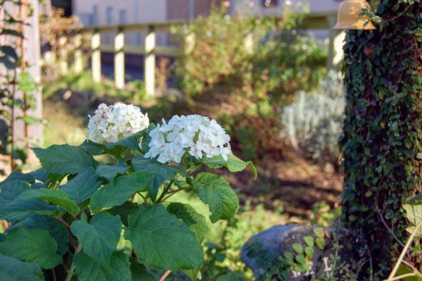 秋に咲いたアナベルの花