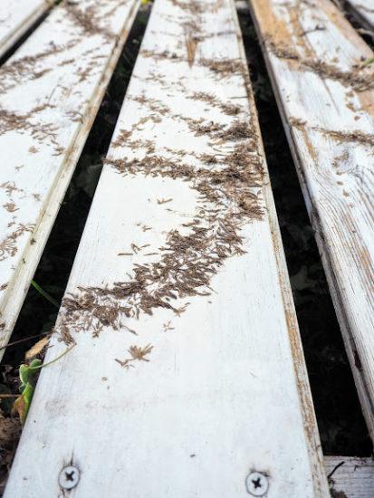 プミラの吸着根のあとがついたフェンス